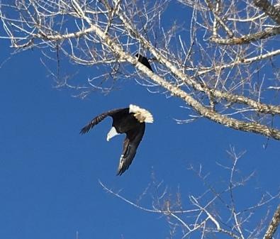 TB-eagle